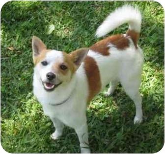 Basenji Mix Dog for adoption in Haughton, Louisiana - Junior