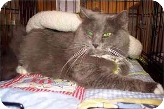 Domestic Mediumhair Cat for adoption in Easley, South Carolina - Thelma Lou