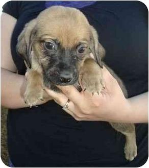 Dachshund/Beagle Mix Puppy for adoption in Spring Valley, New York - Sabor