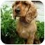 Photo 1 - Cocker Spaniel Dog for adoption in Sugarland, Texas - Joe Cocker