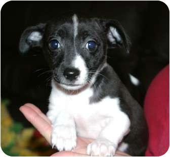 Jack Russell Terrier/Fox Terrier (Toy) Mix Puppy for adoption in Santa Ana, California - Dolly