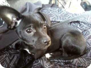Miniature Pinscher/Rat Terrier Mix Puppy for adoption in Lebanon, Maine - Jinkers-LOCAL (see Lucy Lou)