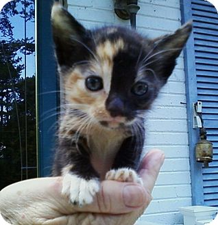Calico Kitten for adoption in Concord, North Carolina - Holly