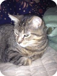 Egyptian Mau Cat for adoption in Macomb Twp, Michigan - Whisper