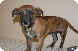 Dachshund Mix Puppy for adoption in Alamogordo, New Mexico - Chica