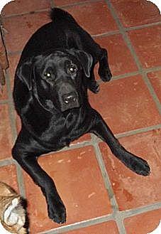 Labrador Retriever/Chow Chow Mix Dog for adoption in Key Biscayne, Florida - Richard Burton