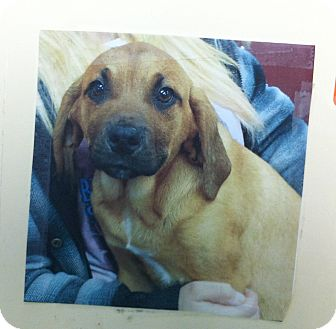 Hound (Unknown Type) Mix Puppy for adoption in Greensburg, Pennsylvania - Cabhan