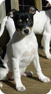 Fox Terrier (Smooth) Mix Puppy for adoption in Westerly, Rhode Island - Foxy