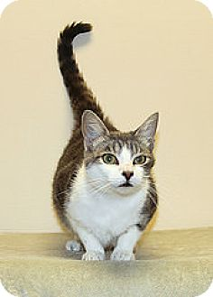 Domestic Shorthair Cat for adoption in Bellingham, Washington - Blue