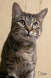 Domestic Shorthair Cat for adoption in Centerton, Arkansas - Hope