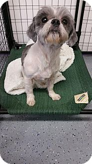 Shih Tzu Mix Dog for adoption in Urbana, Ohio - Wylie