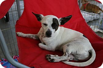 Jack Russell Terrier Mix Dog for adoption in Corona, California - Patches a little boy angel!