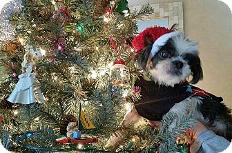 Shih Tzu Dog for adoption in Dayton, Ohio - Herbie
