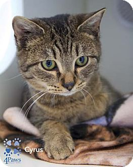 Domestic Shorthair Kitten for adoption in Merrifield, Virginia - Cyrus