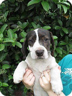 Bluetick Coonhound/Labrador Retriever Mix Puppy for adoption in Middleburg, Florida - Liberty