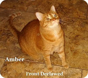 Domestic Shorthair Cat for adoption in Bentonville, Arkansas - Amber