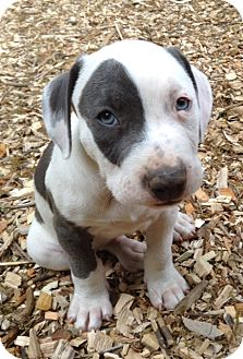 Pit Bull Terrier/American Staffordshire Terrier Mix Puppy for adoption in Baltimore, Maryland - Stewart