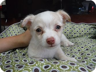 Pomeranian Mix Puppy for adoption in Dublin, California - Lennon