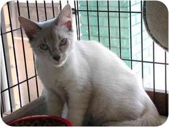 Siamese Kitten for adoption in Fort Lauderdale, Florida - Wasabi