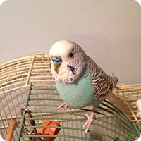 Adopt A Pet :: Cici - St. Louis, MO