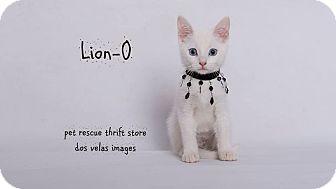 Turkish Van Kitten for adoption in Riverside, California - Lion-O