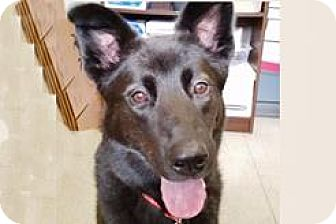 Husky/Border Collie Mix Dog for adoption in Bellevue, Washington - Molly Bella