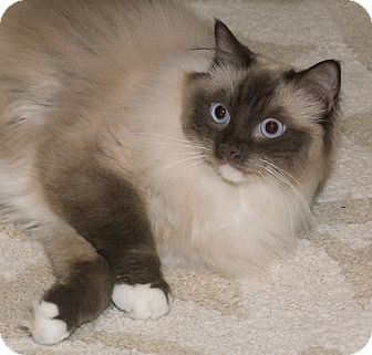 Ragdoll Cat for adoption in Elmwood Park, New Jersey - Constantine ADOPTED