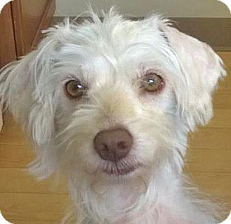 Poodle (Miniature) Mix Dog for adoption in Spokane, Washington - Fritz