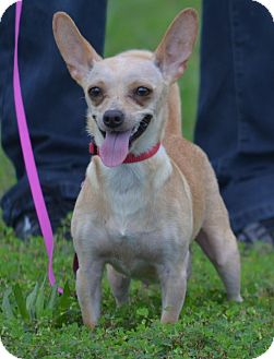 Chihuahua Mix Dog for adoption in Lebanon, Missouri - Honey