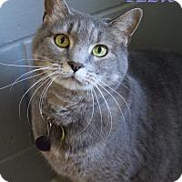 Domestic Shorthair Cat for adoption in Bradenton, Florida - Izzie