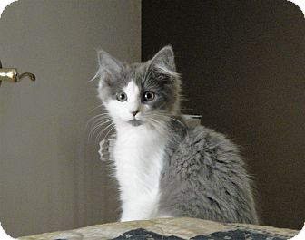Domestic Longhair Kitten for adoption in North Wilkesboro, North Carolina - Harvest