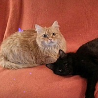 Domestic Mediumhair Cat for adoption in St. Cloud, Florida - Ginger