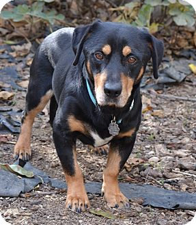 Basset Hound Mix Dog for adoption in Simi Valley, California - Lightning