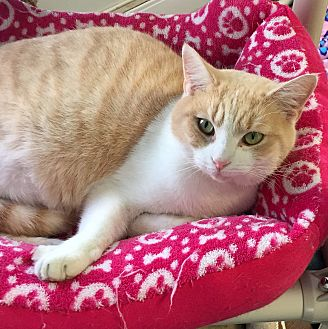 Domestic Shorthair Cat for adoption in Greensburg, Pennsylvania - Dreamsicle