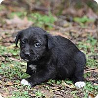 Adopt A Pet :: Bailey - South Dennis, MA