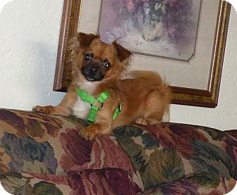Chihuahua Mix Dog for adoption in Conroe, Texas - Sebastian