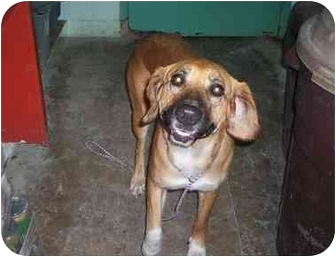 Labrador Retriever/Mastiff Mix Dog for adoption in Honesdale, Pennsylvania - Daisey
