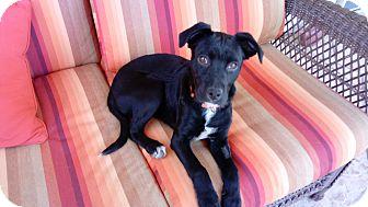Labrador Retriever Mix Puppy for adoption in Phoenix, Arizona - Macchiato
