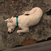 Adopt A Pet :: Ivory - Baton Rouge, LA