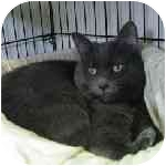 Russian Blue Cat for adoption in Aldie, Virginia - Sally