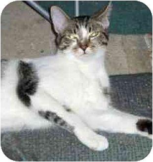 Domestic Shorthair Cat for adoption in Pasadena, California - Andy