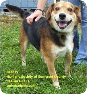 Beagle Mix Dog for adoption in Somerset, Pennsylvania - Beaney