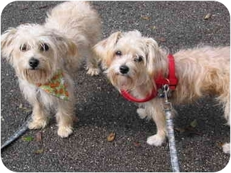 Yorkie, Yorkshire Terrier/Maltese Mix Puppy for adoption in West Palm Beach, Florida - Byron