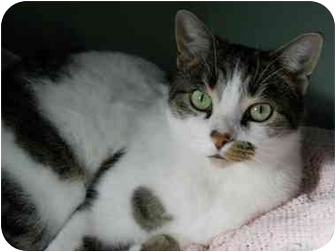 Domestic Shorthair Cat for adoption in Chicago, Illinois - captain Jack