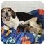 Photo 4 - Beagle/Jack Russell Terrier Mix Dog for adoption in salisbury, North Carolina - Sunshine