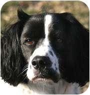English Springer Spaniel Dog for adoption in Minneapolis, Minnesota - Maverick (MN)