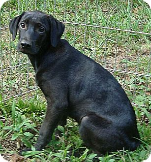 Labrador Retriever Mix Puppy for adoption in Allentown, Pennsylvania - Wednesday (reduced $50)