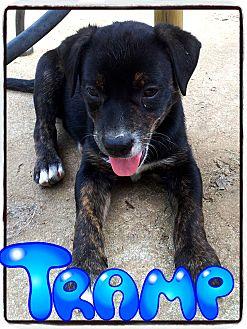 Plott Hound Mix Puppy for adoption in Marietta, Georgia - Tramp
