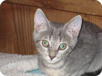 Domestic Shorthair Kitten for adoption in Pinehurst, North Carolina - Bing