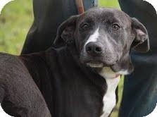 Labrador Retriever Mix Dog for adoption in Staunton, Virginia - Sage ($200 adoption fee)